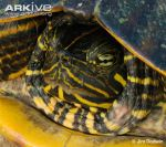 14Close-up-of-face-of-Alabama-red-bellied-turtle