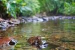 Juvenile Sulawesi Forest Turtle (Leucocephalon yuwonoi)