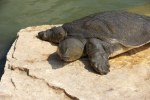 7300493-nile-soft-shelled-turtle-trionyx-triunguis-in-the-river-alexander-israel