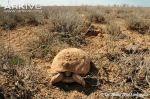 Afghan-tortoise-emerging-after-hibernation
