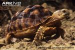 African-spurred-tortoise-
