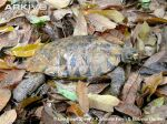 Dorsal-view-of-an-Arakan-forest-turtle-