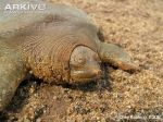 Frog-faced-softshell-turtle-portrait