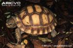Juvenile-African-spurred-tortoise