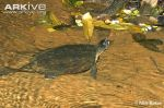 Malayan-flat-shelled-turtle-breathing-at-the-surface-of-the-water