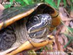 Malayan-snail-eating-turtle