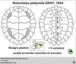 notochelys_platinota_desc_v_niclos_www_testudines_org_000_000_big