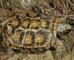 Pancake-tortoise2