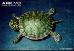 14Young-Alabama-red-bellied-turtle-on-bench