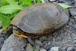 1a200px-A2_Midland_painted_turtle