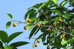 24Shatabishaka_tree_Anthocephalus_cadamba2-jabon