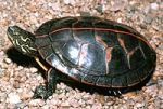 2b200px-A3_Southern_painted_turtle