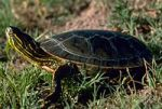 3a200px-A4_Western_painted_turtle