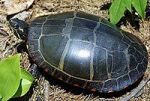 4a200px-Painted-Turtle-1_Young