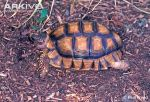 adult-chaco-tortoise