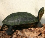 Annam-leaf-turtle