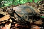 Asian-tortoise-on-leaf-litter
