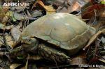 Asian-tortoise