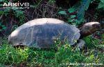 Asian-tortoise3