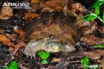 Asian-yellow-pond-turtle-