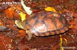 Asian-yellow-pond-turtleu