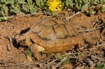 Beaked_cape_tortoise3456