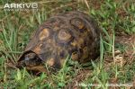 Bells-hinged-tortoise