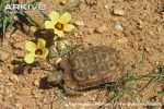 Bells-hinged-tortoise3