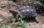Berlandiers-tortoise