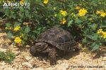 Berlandiers-tortoise2