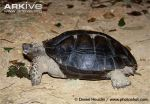 Black-Asian-giant-tortoise-Manouria-emys-phayrei