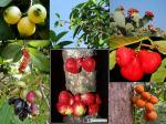 buah Sulawesi