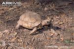 Chaco-tortoise-on-ground