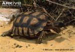 Chaco-tortoise-walking