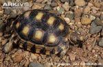 Chaco-tortoise-