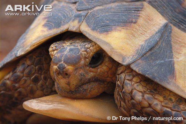 Strategi perdagangan kura-kura wiki