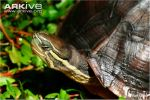 Close-up-of-an-Annam-leaf-turtle