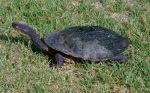 Common_snakeneck_turtle_(Chelodina_longicollis)_2
