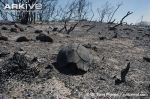 Dead-angulate-tortoise---burnt-during-controlled-fires