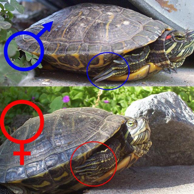 Сколько раз в день надо кормить морскую черепаху