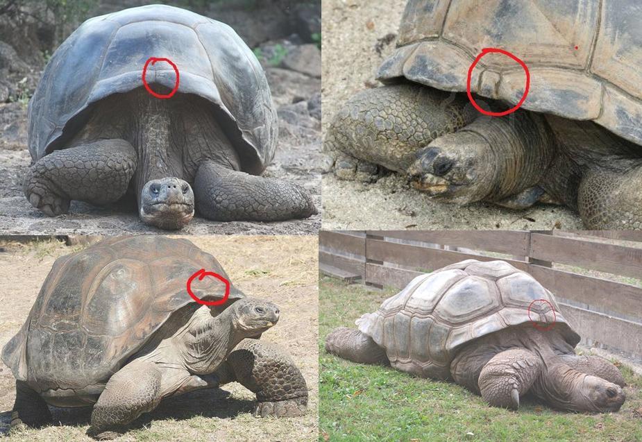 16 17 Perbedaan Aldabra Dan Galapagos Hariprajitno S Art