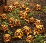 Group-of-ploughshare-tortoises - Copy