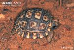 hatchling-chaco-tortoise