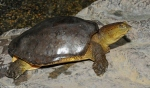(Lissemys_punctata)_Indian_flap_shell_Turtle_05r