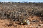 Male-angulate-tortoise-in-habitat