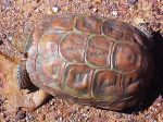 PBT-04-SE-Homopus-areolatus-Parrot-beaked-Tortoise