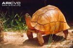 Ploughshare-tortoise