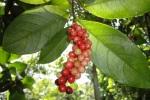 Syzygium-polyanthum_Kampus_24