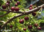 Syzygium-polyanthum_Kampus_27