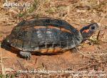 Three-keeled-land-tortoise